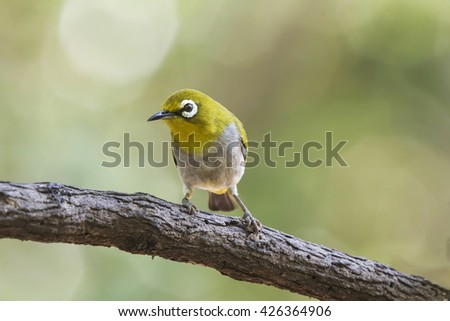 Oriental white-eye is a small passerine bird in the white-eye family. It is a resident breeder in open woodland in tropical Asia, east from the Indian subcontinent to Southeast Asia,