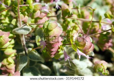 Origanum Dictamnus, Dittany of Crete Herb Close-Up - stock photo
