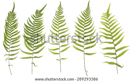 Original size full frame of the collected Leaf fern isolated on white background - stock photo