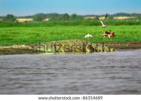 Orinoco crocodile lying in the water - stock photo