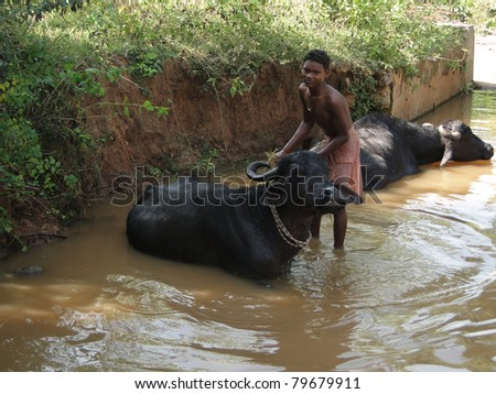 ORISSA INDIA - NOV 10 : Young boy washes his water buffalo in a shady river on Nov 10, 2009 in Orissa, India .