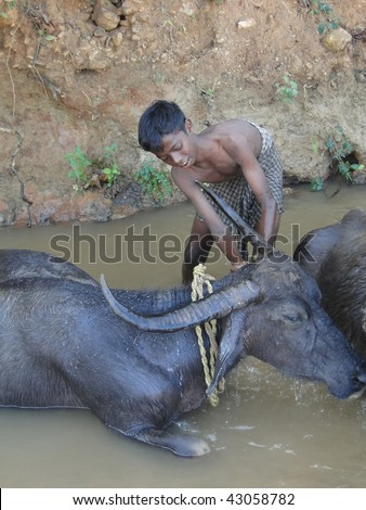 ORISSA, INDIA - NOVEMBER 10 : An unidentified young boy washes  water buffalo in a shady river November 10, 2009 in Orissa, India.