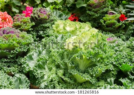 Ornamental cabbage - stock photo