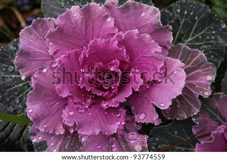Ornamental Cabbage: Colorful cabbage after a Winter rain - stock photo