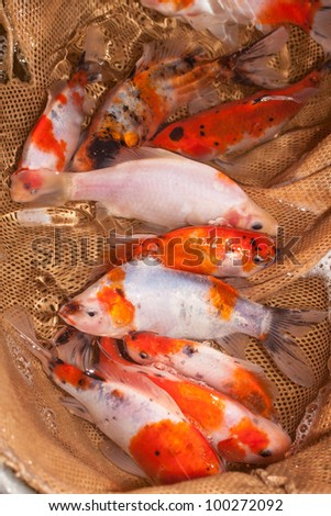 Stock photos royalty free images vectors shutterstock for Ornamental carp fish