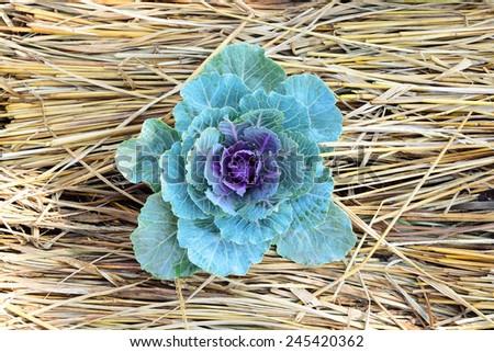 ornamental decorative cabbage on straw background - stock photo