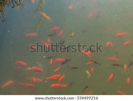 Carp stock photo 568441240 shutterstock for Ornamental pond fish golden