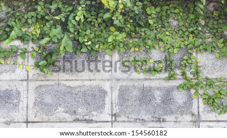 Ornamental ivy on the wall. - stock photo