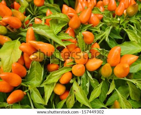 Ornamental pepper (dwarf pepper, Capsicum annuum)  - stock photo