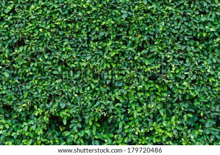 Ornamental shrubs ,Wall shrubs - stock photo