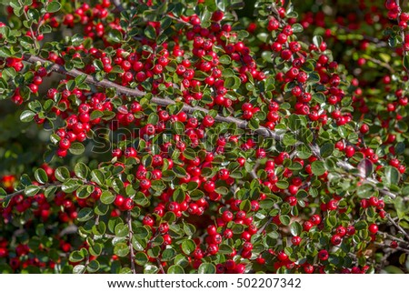 Ornamental shrubs with lots of red berries on the branches