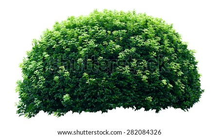 Ornamental tree isolated on white background