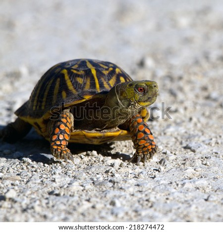 Ornate Box Turtle crosses a gravel road at Quivira National Wildlife Refuge in Kansas - stock photo