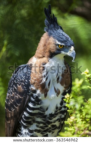 Ornate Eagle Hawk perched with feathers in beak. - stock photo