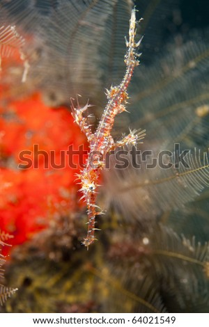 Ornate Ghost pipefish of the family Solenostomidae macro shot in Bali, Indonesia. - stock photo