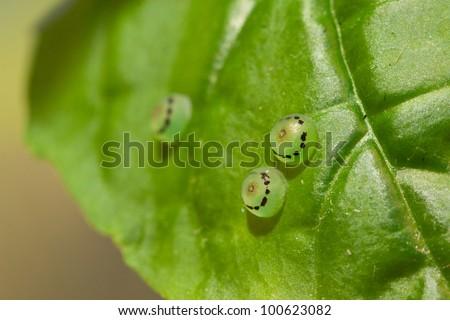 Ornithoptera priamus eggs - stock photo