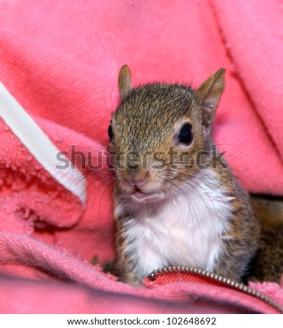 Orphaned squirrel baby raised by humans and released back into the wild. - stock photo