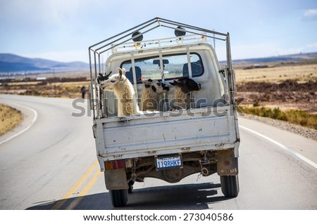 ORURO, JULY 26: Three lamas with traditional ear tags ride in a truck - july 26, 2011 in the Road to La Paz, Bolivia - stock photo