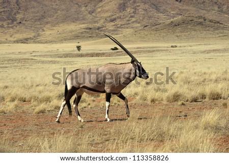 Oryx - stock photo