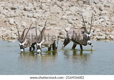 Oryx at a waterhole in Etosha National Park - stock photo