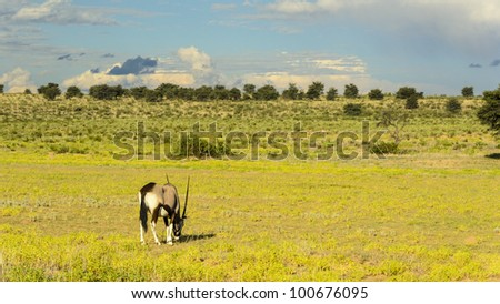 Oryx (Gemsbok) grazing in the riverbed in Kgalagadi Transfrontier park, South Africa