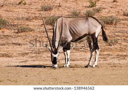 Oryx grazing in the desertin hot and dry sun hungry - stock photo