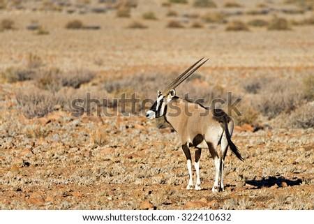 Oryx near a water hole at Sossus Dune Lodge, Sossusvlei, Namibia - stock photo