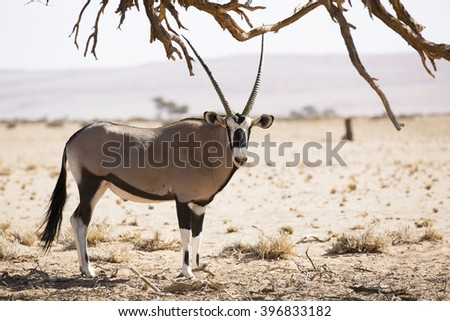 Oryx walking in the desert with tree - stock photo