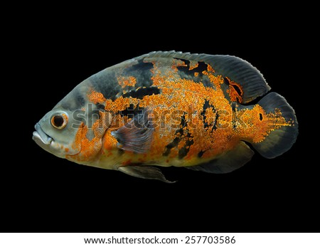 Oscar Fish - South American freshwater fish from the cichlid family, known under a variety of common names including oscar, tiger oscar, velvet cichlid, or marble cichlid, isolated over black - stock photo