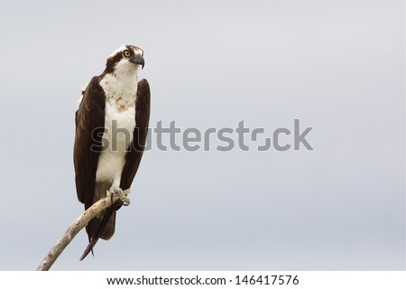 Osprey, a.k.a. Sea Hawk, Fish Hawk, Sea Eagle, Pandion haliaetus  perched on branch isolated against an overcast gray sky background - stock photo