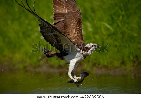 Osprey catching fish. Flying osprey with fish. Action scene with osprey in the nature water habitat. Osprey with fish in fly. Bird of prey with fish in the talon. Bird osprey hunting in the water. - stock photo