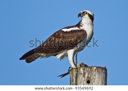 Osprey eating fish - Pandion haliaetus - stock photo