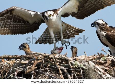 Osprey Family Feeding Chicks - stock photo