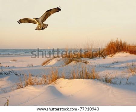 Osprey Flying over the Sand Dunes at Sunrise - stock photo