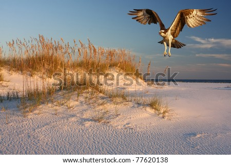 Osprey Flying Over White Sand Beach