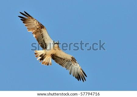 osprey flying (pandion haliaetus) - stock photo