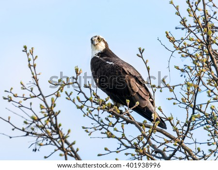 Osprey in a tree during Spring with budding leaves - stock photo