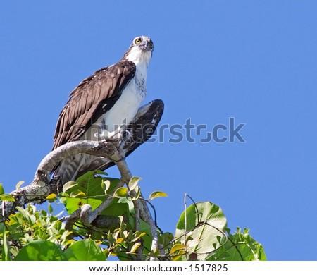 Osprey in Costa Rica - stock photo