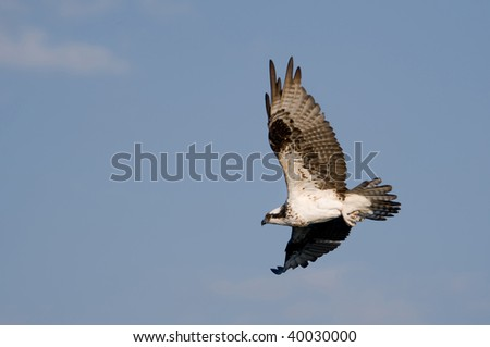 Osprey in Flight - stock photo