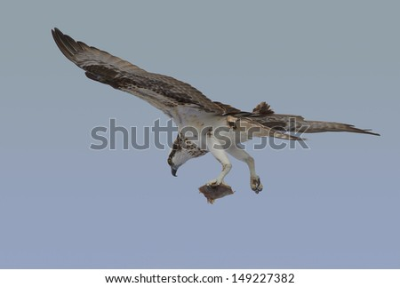 Osprey in flight with fish clutched in its talons