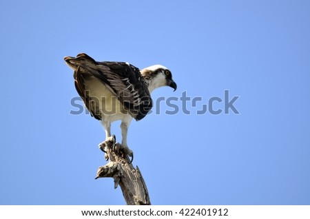 Osprey in the wild on the Florida marshland