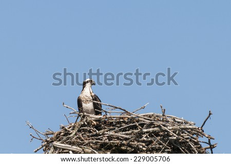 Osprey looks over the area from the large nest - stock photo