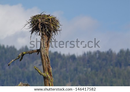 Osprey nest atop a dead tree with woodlands and blue sky in the background Ospreys are also known as Sea Hawks, Seahawks, Fish Hawks, Sea Eagles, Pandion haliaetus  - stock photo