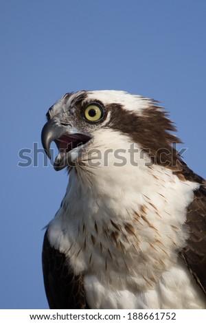 Osprey (Pandion haliaetus) close up - stock photo