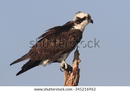 Osprey (pandion haliaetus) in a tree in the Florida Everglades