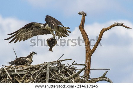 osprey (Pandion haliaetus), sometimes known as the sea hawk, fish eagle, river hawk or fish hawk, is a diurnal, fish-eating bird of prey - stock photo
