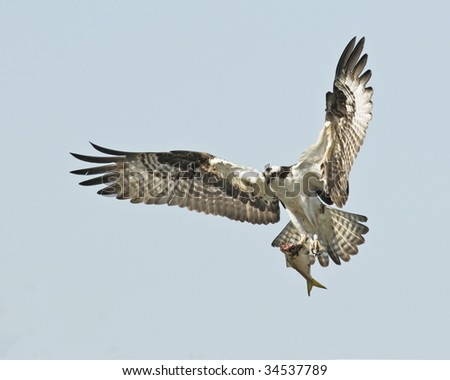 Osprey, Pandion haliaetus, with a fish for his family - stock photo