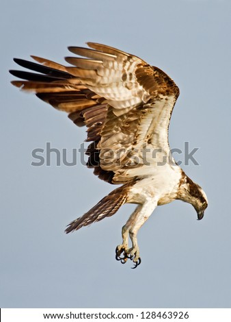 Osprey Searching For Fish - stock photo