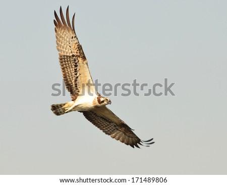 Osprey showing wing spread on sky Backdrop  - stock photo