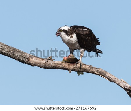 Osprey with Fish on Blue Sky